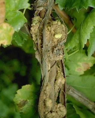 Они провоцируют чрезмерное осыпание цветков и завязей, а сами плоды нередко мельчают, становясь похожими на мелкие горошины, из-за чего товарный вид теряется.